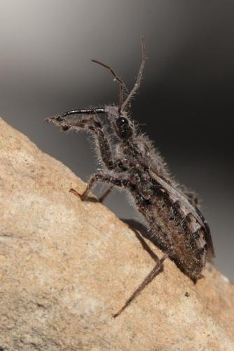 coranus sp coranus mais apr s le monde des insectes. Black Bedroom Furniture Sets. Home Design Ideas